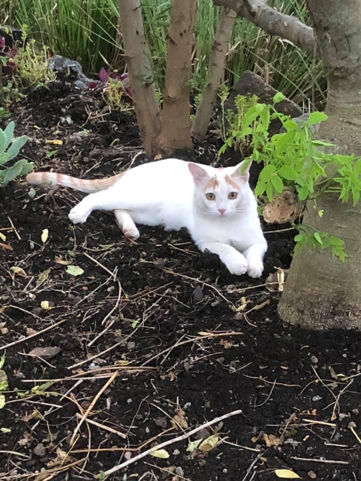 gatto bianco 1